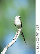 Купить «Portrait of Scissor tailed flycatcher (Tyrannus forficatus) perched in branch, Texas, USA», фото № 25461389, снято 27 мая 2018 г. (c) Nature Picture Library / Фотобанк Лори