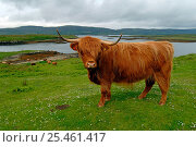 Купить «Highland Cattle {Bos taurus} on pasture with highland landscape, Isle of Skye, Scotland», фото № 25461417, снято 29 марта 2020 г. (c) Nature Picture Library / Фотобанк Лори