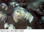 Купить «Stone coral {Porites sp} with parrotfish bite scratches, Indo-Pacific», фото № 25461925, снято 10 июля 2020 г. (c) Nature Picture Library / Фотобанк Лори