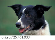 Shorthaired black and white Border Collie , outdoors. Стоковое фото, фотограф Adriano Bacchella / Nature Picture Library / Фотобанк Лори