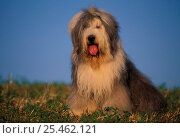 Купить «Old English Sheepdog / Bobtail with hair tied up.», фото № 25462121, снято 15 октября 2018 г. (c) Nature Picture Library / Фотобанк Лори
