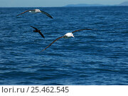 New Zealand albatross (Diomedea antipodensis), Salvins albatross (Thalassarche salvini) and White- chinned petrel (Procellaria aequinoctialis) in flight, New Zealand. Стоковое фото, фотограф Adam White / Nature Picture Library / Фотобанк Лори