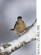 Купить «Great spotted woodpecker (Dendrocopus major) in winter, Cairngorms NP, Scotland, UK», фото № 25463189, снято 14 ноября 2018 г. (c) Nature Picture Library / Фотобанк Лори