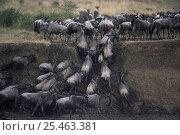 Купить «Wildebeest herd {Connochaetes taurinus} climbing banks of river, Masai mara reserve, Kenya», фото № 25463381, снято 13 июля 2020 г. (c) Nature Picture Library / Фотобанк Лори