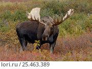 Купить «Moose bull {Alces alces} Denali National Park, Alaska, USA.», фото № 25463389, снято 23 июля 2018 г. (c) Nature Picture Library / Фотобанк Лори