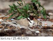 Купить «Hooded Plover (Thinornis rubricollis) at nest with young chick, Tasmania, Australia», фото № 25463673, снято 21 ноября 2019 г. (c) Nature Picture Library / Фотобанк Лори