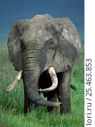 Male African elephant grazing {Loxodonta africana} Ngorongoro crater, Tanzania. Стоковое фото, фотограф Nick Garbutt / Nature Picture Library / Фотобанк Лори