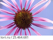 Купить «Black samson echinacea / Coneflower (Echinacea angustifolia), Europe», фото № 25464681, снято 9 июля 2020 г. (c) Nature Picture Library / Фотобанк Лори