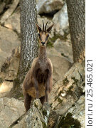 Adult Pyrenean Chamois / Isard {Rupicapra rupricapra pyrenaica} on rocks, France. Стоковое фото, фотограф Dave Watts / Nature Picture Library / Фотобанк Лори