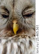 Купить «Close-up of Ural owl {Strix uralensis} with eyes closed, Vastmanland, Sweden.», фото № 25465561, снято 17 января 2019 г. (c) Nature Picture Library / Фотобанк Лори