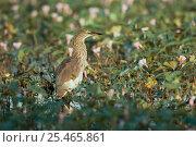 Купить «Indian pond heron {Ardeola grayii}  Keoladeo Ghana NP, Bharatpur, Rajasthan, India», фото № 25465861, снято 5 июля 2020 г. (c) Nature Picture Library / Фотобанк Лори