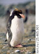 Macaroni penguin {Eudyptes chrysolophus} Antarctica. Стоковое фото, фотограф Mark Carwardine / Nature Picture Library / Фотобанк Лори