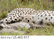 Купить «Cheetah {Acinonyx jubatus} mother & 8 week cub, Masai Mara Reserve, Kenya.», фото № 25465917, снято 7 июля 2020 г. (c) Nature Picture Library / Фотобанк Лори