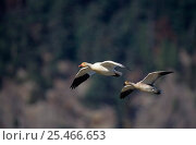 Купить «Two Snow geese flying {Chen caerulescens} Cap Tourmente NWR Quebec», фото № 25466653, снято 2 июня 2020 г. (c) Nature Picture Library / Фотобанк Лори