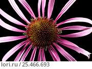 Купить «Black samson echinacea / Coneflower (Echinacea angustifolia), Europe.», фото № 25466693, снято 11 июля 2020 г. (c) Nature Picture Library / Фотобанк Лори