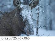 Купить «Moose in snow {Alces alces} Sarek NP, Lapland, Sweden.», фото № 25467065, снято 23 января 2019 г. (c) Nature Picture Library / Фотобанк Лори
