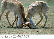 Купить «Two Saiga {Saiga tatarica} males rutting, Cherniye Zemly Zapovednik Russia.», фото № 25467169, снято 13 ноября 2018 г. (c) Nature Picture Library / Фотобанк Лори