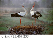 Купить «White stork pair displaying on nest, Bryanksy Les Zapovednik, Russia.», фото № 25467233, снято 20 августа 2019 г. (c) Nature Picture Library / Фотобанк Лори