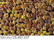 Купить «Seeds of Meadow buttercup (Ranunculus acris) - Europe», фото № 25467237, снято 19 февраля 2020 г. (c) Nature Picture Library / Фотобанк Лори