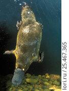 Купить «Platypus swimming underwater {Ornithorhynchus anatinus} Tasmania», фото № 25467365, снято 4 декабря 2019 г. (c) Nature Picture Library / Фотобанк Лори