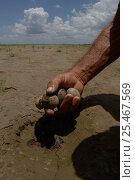 Купить «Man taking Large billed tern {Phaetusa simplex} eggs from nest. Brazil.», фото № 25467569, снято 14 июля 2020 г. (c) Nature Picture Library / Фотобанк Лори