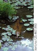 Купить «Australian freshwater Crocodile in shallow water{Crocodylus johnstoni} Northern Territory, Australia», фото № 25467993, снято 15 октября 2019 г. (c) Nature Picture Library / Фотобанк Лори