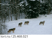 Купить «European grey wolves in winter landscape {Canis lupus} released into wild Russia.», фото № 25468021, снято 24 марта 2019 г. (c) Nature Picture Library / Фотобанк Лори