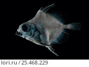 Купить «Deepsea fish, Oreo (Neocyttus sp), deep sea Atlantic ocean», фото № 25468229, снято 19 октября 2018 г. (c) Nature Picture Library / Фотобанк Лори