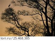 Купить «Silhouette of Great egret roosting in tree {Ardea alba} Pantanal, Brazil», фото № 25468385, снято 23 марта 2019 г. (c) Nature Picture Library / Фотобанк Лори