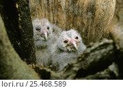 Купить «Ural owl {Strix uralensis} chicks in nest hollow, Roztocze NP, Poland», фото № 25468589, снято 21 ноября 2018 г. (c) Nature Picture Library / Фотобанк Лори