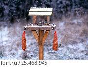 Купить «Garden birds including Blue Tits {Parus caeruleus} + Nuthatch {Sitta europaea} on bird table, UK.», фото № 25468945, снято 23 июля 2018 г. (c) Nature Picture Library / Фотобанк Лори