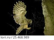Купить «Ural owl brings mouse prey to nest hole {Strix uralensis} Polesie, Poland», фото № 25468989, снято 21 ноября 2018 г. (c) Nature Picture Library / Фотобанк Лори