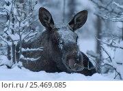 Купить «Moose in snow, Alces alces, Sarek NP. Lapland, Sweden.», фото № 25469085, снято 23 января 2019 г. (c) Nature Picture Library / Фотобанк Лори