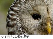 Купить «Ural owl {Strix uralensis} portrait, Vastmanland, Sweden.», фото № 25469309, снято 17 января 2019 г. (c) Nature Picture Library / Фотобанк Лори