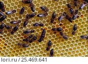 Burzyan bees {Apoidea sp.} on honeycomb, Shulgan Tash Zapovednik, Russia. Стоковое фото, фотограф Igor Shpilenok / Nature Picture Library / Фотобанк Лори