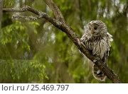 Купить «Ural owl {Strix uralensis} in tree, Vastmanland, Sweden.», фото № 25469797, снято 17 января 2019 г. (c) Nature Picture Library / Фотобанк Лори