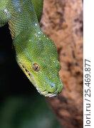 Green tree python portrait {Chondopython viridis} captive. Стоковое фото, фотограф Mark Carwardine / Nature Picture Library / Фотобанк Лори