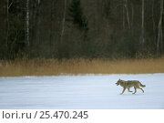 Купить «European Grey Wolf {Canis lupus} released into wild, Toropets, Russia.», фото № 25470245, снято 18 февраля 2019 г. (c) Nature Picture Library / Фотобанк Лори