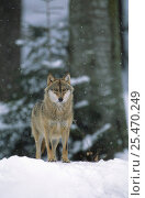 European grey wolf {Canis lupus} in snow, Bayerischer wald NP, Germany, captive. Стоковое фото, фотограф Eric Baccega / Nature Picture Library / Фотобанк Лори