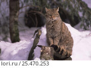 Wild cat {Felis silvestris} sitting on a post in the snow. Bayerisher wald NP, Germany. Стоковое фото, фотограф Eric Baccega / Nature Picture Library / Фотобанк Лори