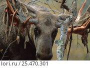 Купить «European Moose {Alces alces} shedding velvet from antler, Sarek NP, Lapland, Sweden.», фото № 25470301, снято 22 января 2019 г. (c) Nature Picture Library / Фотобанк Лори