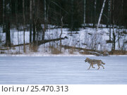 Купить «European grey wolf {Canis lupus} rleased into wild running in snow, Toropets, Russia.», фото № 25470313, снято 18 февраля 2019 г. (c) Nature Picture Library / Фотобанк Лори