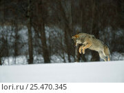 Купить «European Grey Wolf {Canislupus} hunting rodents in snow, Toropets, Russia», фото № 25470345, снято 21 марта 2019 г. (c) Nature Picture Library / Фотобанк Лори