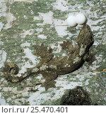 Купить «Kuhl's / Flying gecko {Ptychozoon kuhli} female with eggs, Thailand», фото № 25470401, снято 3 апреля 2020 г. (c) Nature Picture Library / Фотобанк Лори