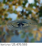 Купить «Water droplet splashing onto pond surface and making concentric rings / ripples», фото № 25470593, снято 17 июля 2018 г. (c) Nature Picture Library / Фотобанк Лори