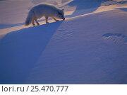 Купить «Arctic Fox {Alopex lagopus} Ellesmere Island, Canada.», фото № 25470777, снято 18 марта 2019 г. (c) Nature Picture Library / Фотобанк Лори