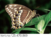Palamedes swallowtail butterfly {Papilio palamedes} wings closed, USA. Стоковое фото, фотограф Steven David Miller / Nature Picture Library / Фотобанк Лори