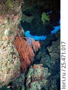 Купить «Red whip coral {Ellisella sp} Bahamas», фото № 25471017, снято 18 августа 2018 г. (c) Nature Picture Library / Фотобанк Лори