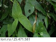 {Araceae sp.} plant leaves, Cachoeira de Maro, Para State, Brazil. Стоковое фото, фотограф Daniel Gomez / Nature Picture Library / Фотобанк Лори