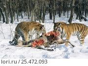 Купить «Siberian tigers feeding on deer carcass {Panthera tigris altaica} captive, Russia», фото № 25472093, снято 20 февраля 2020 г. (c) Nature Picture Library / Фотобанк Лори